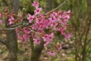 prunus-collinwood-ingram-cece090403-4